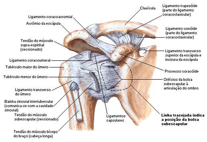 Lesões Do Ombro E O Famoso Protocolo De Fortalecimento
